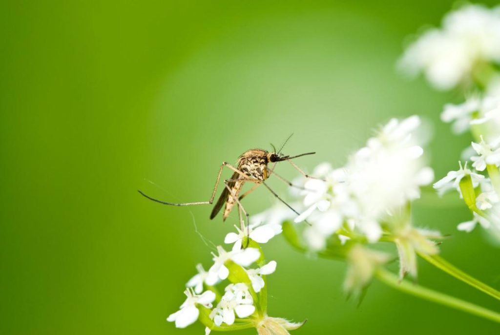 mosquito resting on a flower